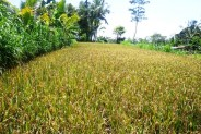 Land for sale in Ubud stunning natural rice fields view – LUB138