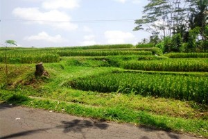 Land for sale in Ubud by roadside with rice fields view – LUB124