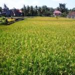Exotic UBUD BALI 1,500 m2 LAND FOR SALE TJUB508